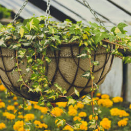 Hang baskets of illuminating yellow blooms to really welcome spring